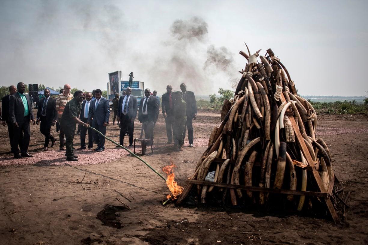اقدام یک رئیسجمهور برای مبازره با قاچاق عاج فیل