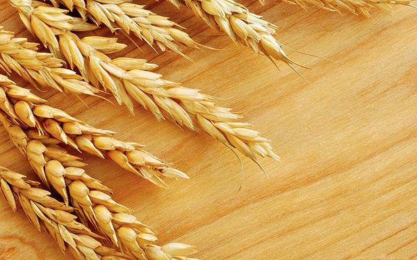اعلام دیرهنگام قیمت تضمینی گندم برای کشاورز سودی ندارد
