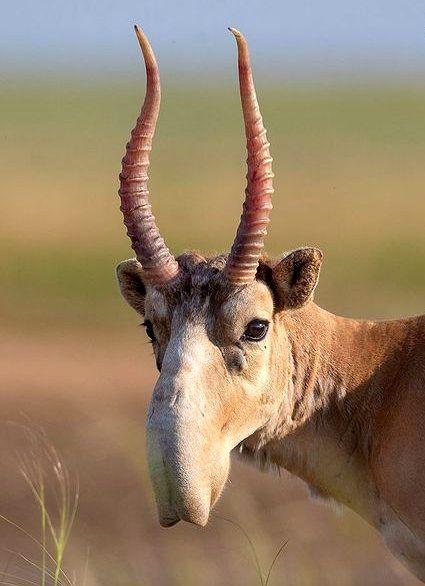 مشاهده یک حیوان در حال انقراض با بینی عجیب