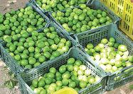 برداشت 300 هزار تن لیمو ترش از باغات فارس