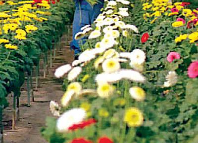 صادرات گل، کمتر و کمتر
