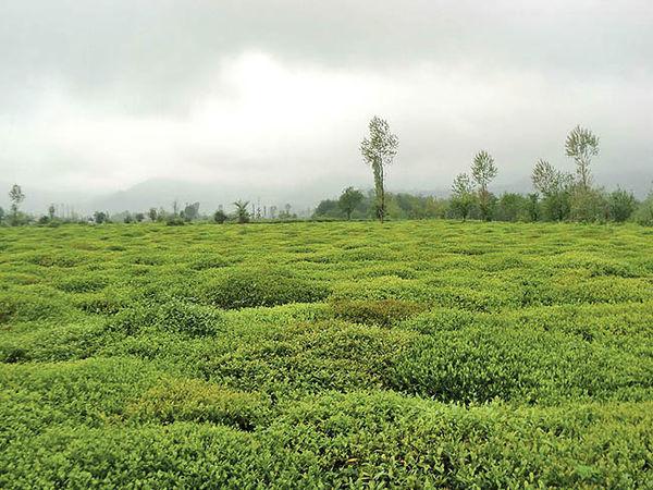صنعت چای را حفظ کنید