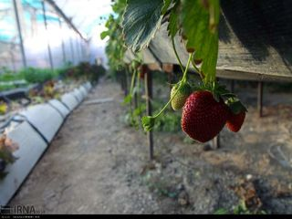 میوه ارگانیک