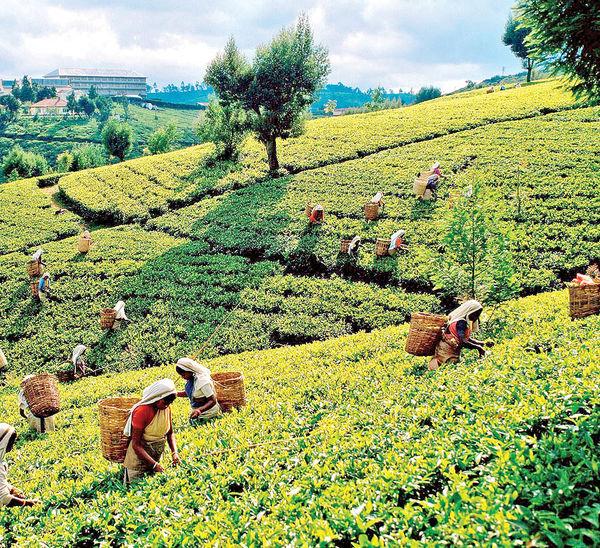 گردش در مزارع چای